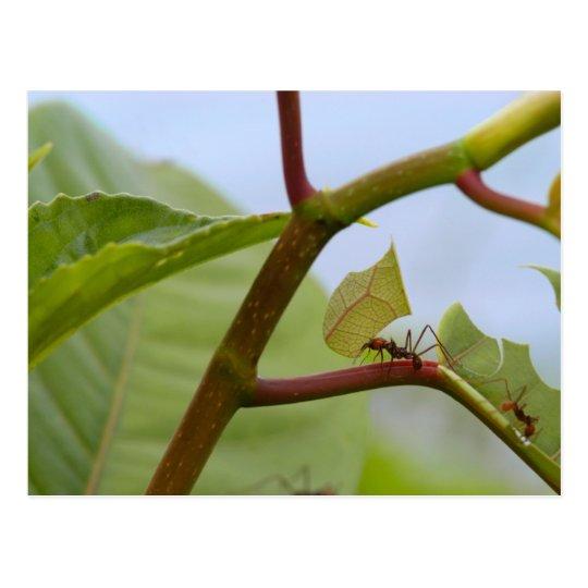 Postal Hormigas del corte de la hoja
