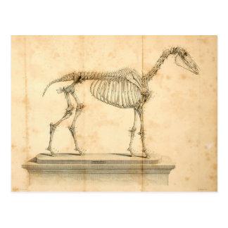 Postal II de la anatomía del caballo