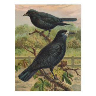 Postal Ilustracion del pájaro del vintage de los grajos