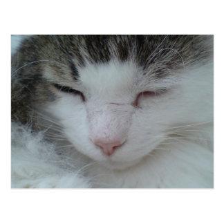 Postal - imagen 2 del gato de Coon de Maine