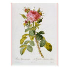 Postal Impresión botánica color de rosa Rosa Bifera por