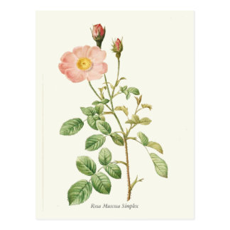 Postal Impresión botánica color de rosa rosada del