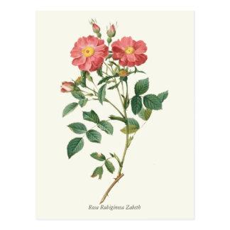 Postal Impresión botánica de los rosas rosados del