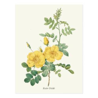 Postal Impresión botánica del rosa amarillo del vintage