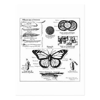 Postal Información de la mariposa de monarca