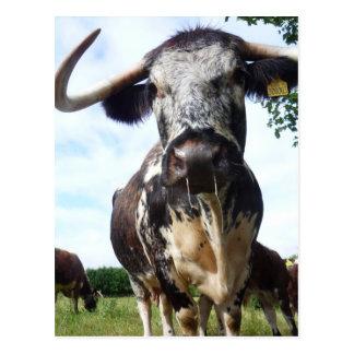 Postal inglesa de la vaca del ganado del