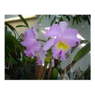 Postal Iris púrpura