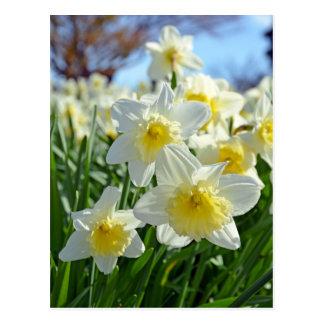 Postal Jardín amarillo y blanco hermoso de los narcisos