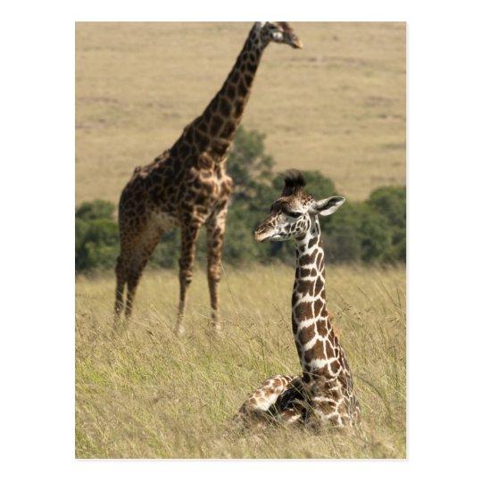 Postal Jirafas del Masai, camelopardalis del Giraffa