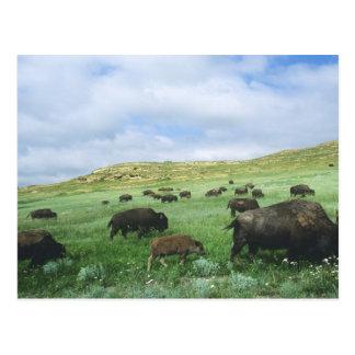Postal La manada del bisonte pasta la hierba de pradera