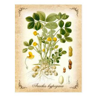 Postal La planta del cacahuete - ejemplo del vintage