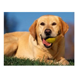 Postal Labrador Retriever