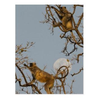 Postal Langur de Hanuman que sube en árbol