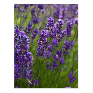 Postal Lavendar el   Lavendel