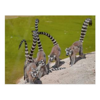 Postal lemur en el parque zoológico