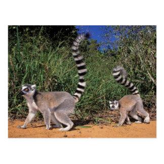 Postal Lemurs Anillo-Atados (Lemur Catta), Berenty