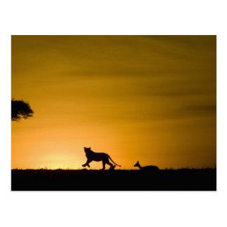 Postal León africano, Panthera leo, persiguiendo el