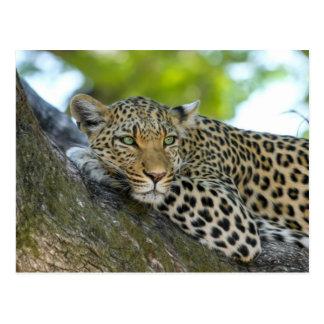 Postal Leopardo
