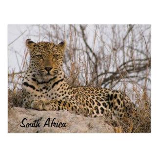 Postal Leopardo que descansa sobre un montón