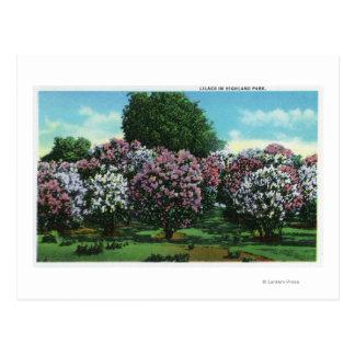 Postal Lilas de Highland Park en la floración