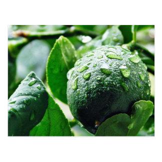 Postal Limón verde de Meyer