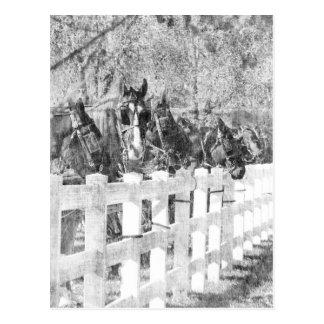 Postal Línea de caballos de Amish blancos y negros