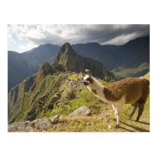 Postal Llamas y una mirada excesiva de Machu Picchu,