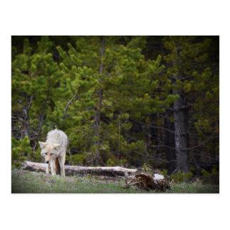 Postal Lobo en Yellowstone