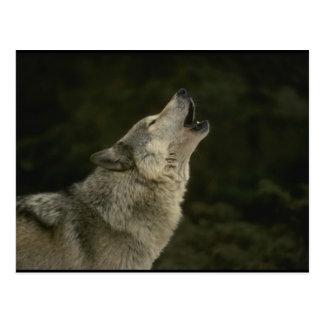 Postal Lobo gris
