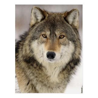 Postal Lobo gris hermoso grande en el salvaje