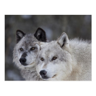 Postal Lobos (lupus de Canus) de Yellowstone del oeste.