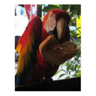 Postal Loro del Macaw del escarlata que come la tostada