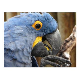 Postal Loro del Macaw del jacinto
