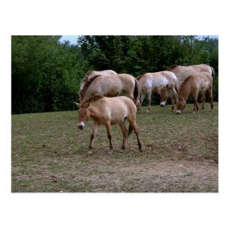 Postal Los caballos de Przewalski