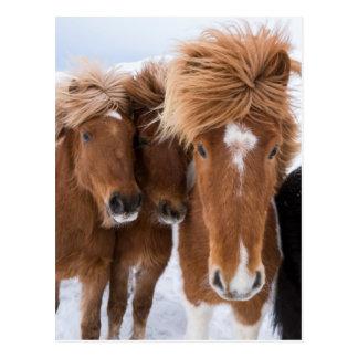 Postal Los caballos islandeses nuzzle, Islandia