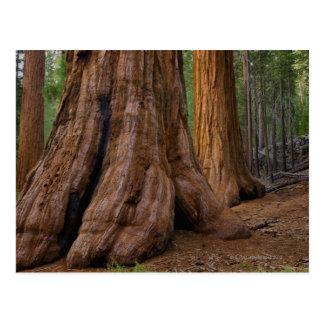 Postal Los E.E.U.U., California, árbol de la secoya