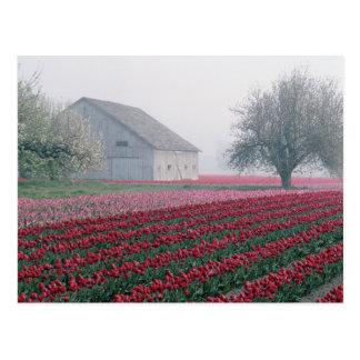 Postal Los tulipanes rojos y rosados saludan el día en un
