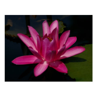 Postal Lotus magenta rosado Waterlily