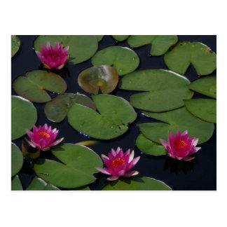 Postal Lotus magenta Waterlily