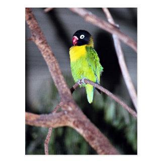 Postal Lovebird enmascarado tropical