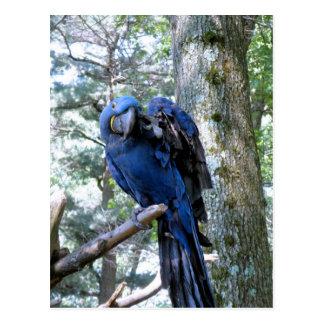 Postal Macaw del jacinto