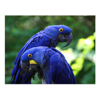 Postal Macaws del jacinto