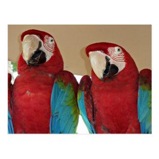 Postal Macaws rojos, azules, verdes (loros)