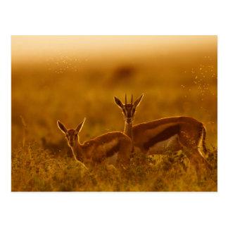 Postal Madre del Gazelle de Thompson (Gazella Thomsonii)