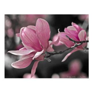Postal Magnolia de platillo del rosa japonés