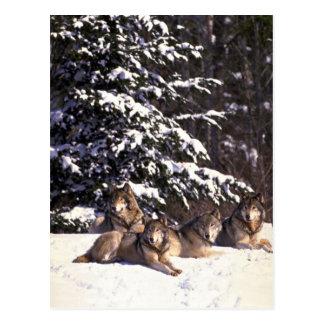 Postal Manada de lobos en el borde de maderas nevosas