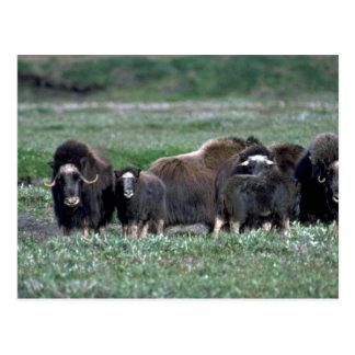 Postal Manada de los bueyes de almizcle en tundra