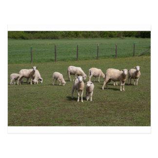 Postal Manada de ovejas