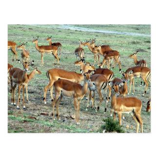 Postal manada del gazelle de la concesión