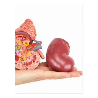 Postal Mano plana que muestra el riñón humano modelo